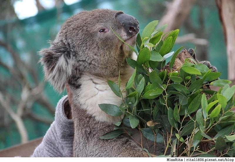 KKDAY 墨爾本自由行 melbourne gowesttours kkDAY墨爾本 墨爾本企鵝 澳洲自助 墨爾本自助 菲利浦島 菲利浦島交通 墨爾本必去 墨爾本酒莊 月光野生動物 Nobbies 墨爾本企鵝歸巢 墨爾本一日遊 菲利普島一日遊,小企鵝歸巢遊行43