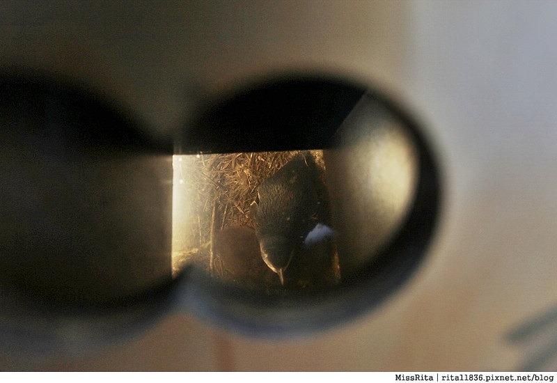 KKDAY 墨爾本自由行 melbourne gowesttours kkDAY墨爾本 墨爾本企鵝 澳洲自助 墨爾本自助 菲利浦島 菲利浦島交通 墨爾本必去 墨爾本酒莊 月光野生動物 Nobbies 墨爾本企鵝歸巢 墨爾本一日遊 菲利普島一日遊,小企鵝歸巢遊行98